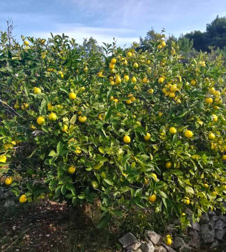 Limone grm